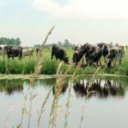 Proeftuin Veenweiden - Benieuwd naar 'ruimte voor ontwikkeling' in de veenweiden?