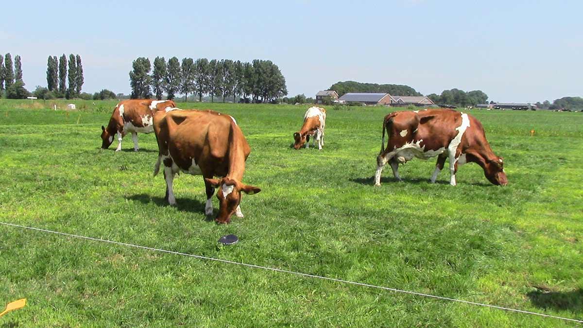 proeftuin veenweiden - koeien