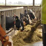 Rantsoen voor de koeien samenstellen