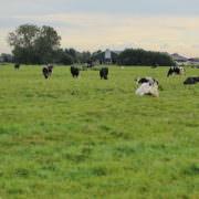 Koeien in de wei in het veenweidegebied