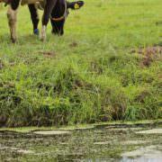 gras in het veenweidegebied