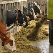 Rantsoen bij koeien