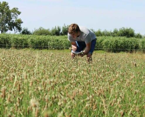 Smalle weegbree produceert 3x zoveel onder droogte